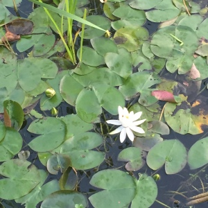 water_lily_Rush_Pond